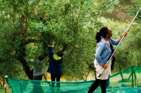 Olive Picking in the Sabine Hills