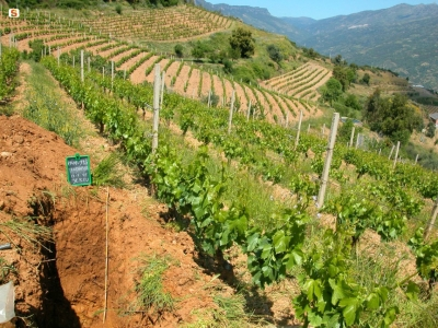 Visit a Cannonau vineyard in Sardinia with Gaveena