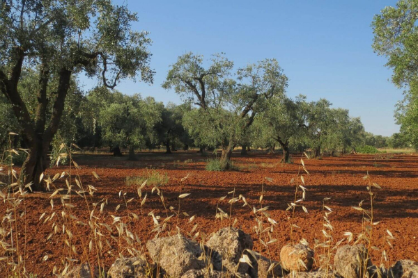 Typical olive groves of central Puglia