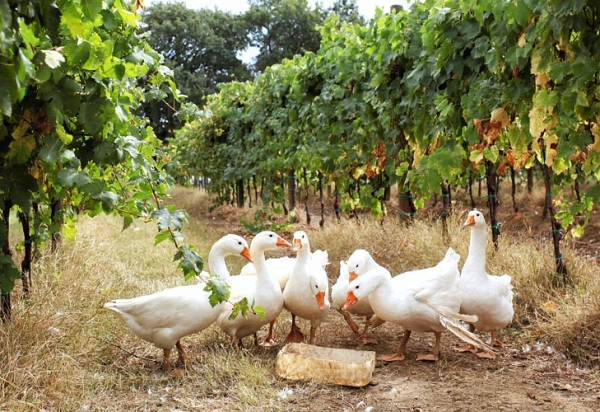 The geese and biodynamic vineyards of Cantina di Filippo